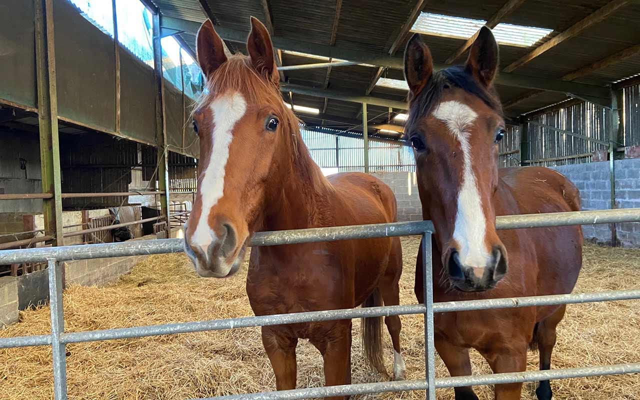 Helen-Bell-Equestrian-homebred-sports-horse-2